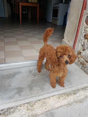 Caniche male toy rouge Piloux